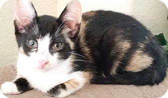 Domestic Shorthair Kitten for adoption in Houston, Texas - Angel