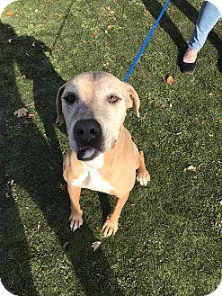 Rhodesian Ridgeback Mix Dog for adoption in Greensboro, North Carolina - Bootsy