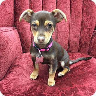 Miniature Pinscher/Chihuahua Mix Puppy for adoption in beverly hills, California - Queen Elizabeth