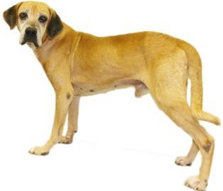 Boxer/Hound (Unknown Type) Mix Dog for adoption in Inverness, Florida - Hank