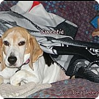 Adopt A Pet :: Sweetie - Yardley, PA