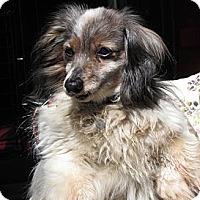 Adopt A Pet :: SPECIAL RESCUE: SPOOKY - Portland, OR