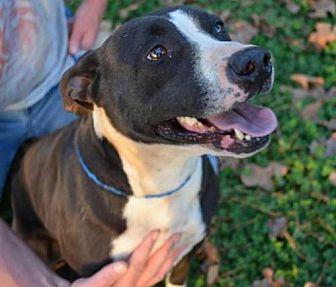 Labrador Retriever/Pointer Mix Dog for adoption in Woodstock, Georgia - Babygirl