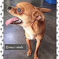 Adopt A Pet :: Lemur - im tiny! - Windham, NH