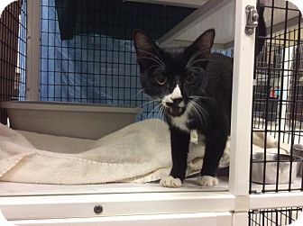 Domestic Shorthair Kitten for adoption in Janesville, Wisconsin - Bacio