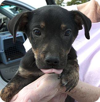 Dachshund/Terrier (Unknown Type, Medium) Mix Puppy for adoption in Plano, Texas - Mattson