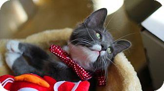 Russian Blue Kitten for adoption in Santa Clarita, California - Wasabi