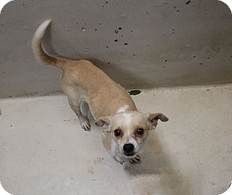 Chihuahua Mix Dog for adoption in Odessa, Texas - A35 Charlotte