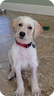 Labrador Retriever Puppy for adoption in Fort Worth, Texas - Digger