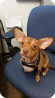 Rat Terrier Dog for adoption in of, New York - Rudy