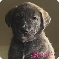 Adopt A Pet :: Beans - Pitt Meadows, BC