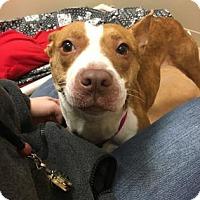 Adopt A Pet :: honey - Philadelphia, PA