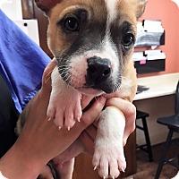 Adopt A Pet :: Buck - Dublin, CA