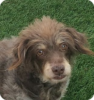Poodle (Miniature)/Miniature Pinscher Mix Dog for adoption in Santa Ana, California - Brownie (JE)