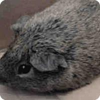 Adopt A Pet :: *Urgent* Chewbaca - Fullerton, CA