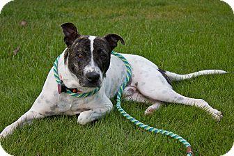 Staffordshire Bull Terrier Mix Dog for adoption in Marietta, Georgia - Alfie