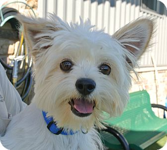Westie, West Highland White Terrier/Maltese Mix Dog for adoption in white settlment, Texas - Kolby