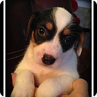 Adopt A Pet :: Howard - Indian Trail, NC