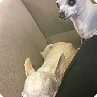 Adopt A Pet :: Boris and Natasha *Tiny Bonded - Knoxville, TN