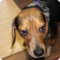 Adopt A Pet :: Sago - Dumfries, VA