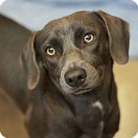 Adopt A Pet :: Olivia - Canoga Park, CA