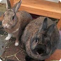 Adopt A Pet :: Chipper - Woburn, MA