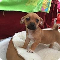 Adopt A Pet :: Akela - Las Vegas, NV