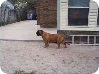 Bullmastiff Dog for adoption in Oviedo, Florida - Petunia