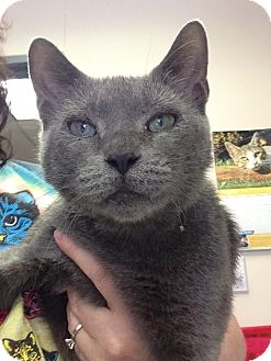 Russian Blue Cat for adoption in East Brunswick, New Jersey - Ariel