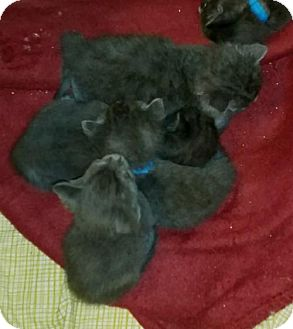Domestic Shorthair Kitten for adoption in Herndon, Virginia - Daytona
