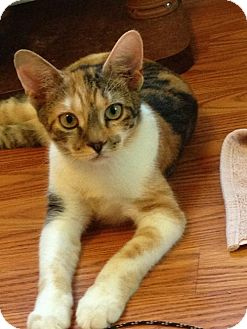 Calico Kitten for adoption in Newtown Square, Pennsylvania - Chicklet