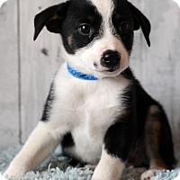 Adopt A Pet :: Goose- Adoption pending - Waldorf, MD