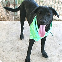 Labrador Retriever Mix Dog for adoption in Pilot Point, Texas - ROO