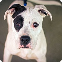 American Pit Bull Terrier Mix Puppy for adoption in Berkeley, California - Petey