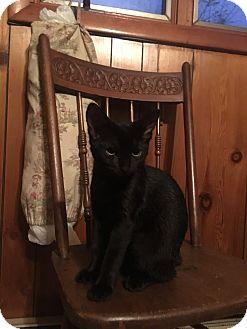 Domestic Shorthair Kitten for adoption in Waldorf, Maryland - Stella