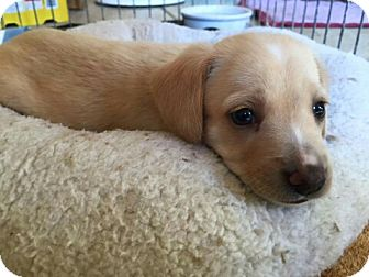 Beagle Mix Puppy for adoption in Surprise, Arizona - Donnie
