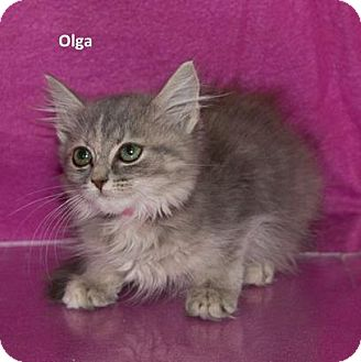 Domestic Mediumhair Kitten for adoption in Madisonville, Tennessee - Olga