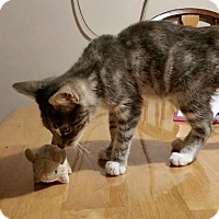 Domestic Shorthair Kitten for adoption in Sparta, New Jersey - Odessa