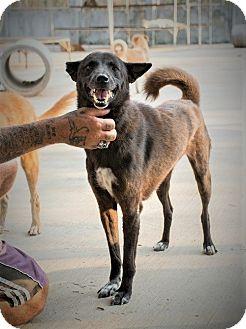 Shepherd (Unknown Type) Mix Dog for adoption in Seattle, Washington - Nancy