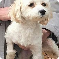 Shih Tzu/Poodle (Miniature) Mix Dog for adoption in Homer Glen, Illinois - Champ