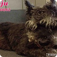 Adopt A Pet :: JUJU - San Antonio, TX