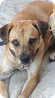 Cattle Dog/Beagle Mix Dog for adoption in Lafayette, California - Lady Girl