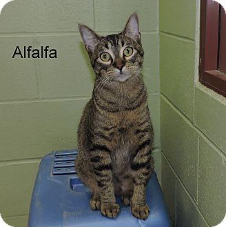 Domestic Shorthair Kitten for adoption in Slidell, Louisiana - Alfalfa