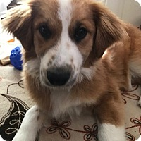 Adopt A Pet :: Yoda - Hainesville, IL