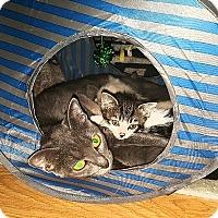 Adopt A Pet :: Tinsel - Tampa, FL