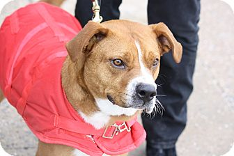 Boxer Mix Dog for adoption in North Wales, Pennsylvania - Steve