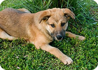 German Shepherd Dog/Labrador Retriever Mix Puppy for adoption in Greensboro, Georgia - Mack