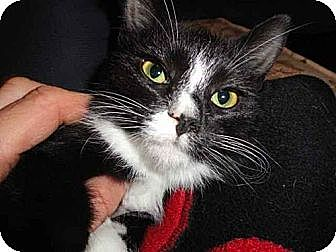 Domestic Mediumhair Cat for adoption in Newtown Square, Pennsylvania - Jingle