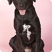 Adopt A Pet :: RosieADOPTED! - Chicago, IL