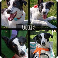 Border Collie/Labrador Retriever Mix Dog for adoption in West Richland, Washington - Checkers